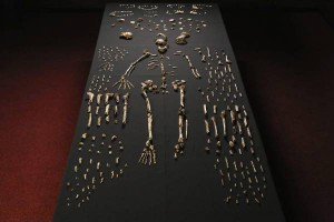 A handout image dated 13 September 2014 shows a Homo naledi skeleton in the Wits bone vault at the Evolutionary Studies Institute at the University of the Witwatersrand, Johannesburg, South Africa. The fossils are among nearly 1,700 bones and teeth retrieved from a nearly inaccessible cave near Johannesburg. The fossil trove was created, scientists believe, by Homo naledi repeatedly secreting the bodies of their dead companions in the cave.  ANSA/JOHN HAWKS / UNIVERSITY OF WISCONSIN-MADISON