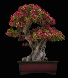 BOUGAINVILLEA ESPECTABILIS, 75_seve BONSAI