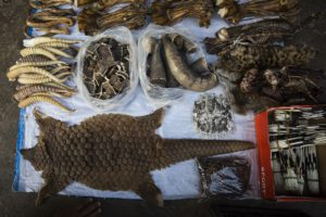 MONG LA, MYANMAR - FEBRUARY 17:  A pangolin skin is displayed amongst other exotic and illegal animal parts at a stall on February 17, 2016 in Mong La, Myanmar. Mong La, the capital of Myanmar's Special Region No. 4, is a mostly lawless area where Chinese tourists are able to cross the border for exotic poached animals, gambling, and prostitution.  (Photo by Taylor Weidman/Getty Images)